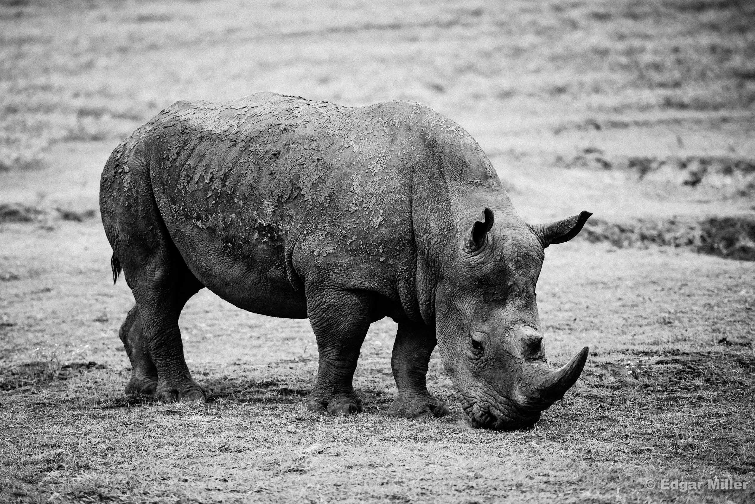 Black & White Black Rhino