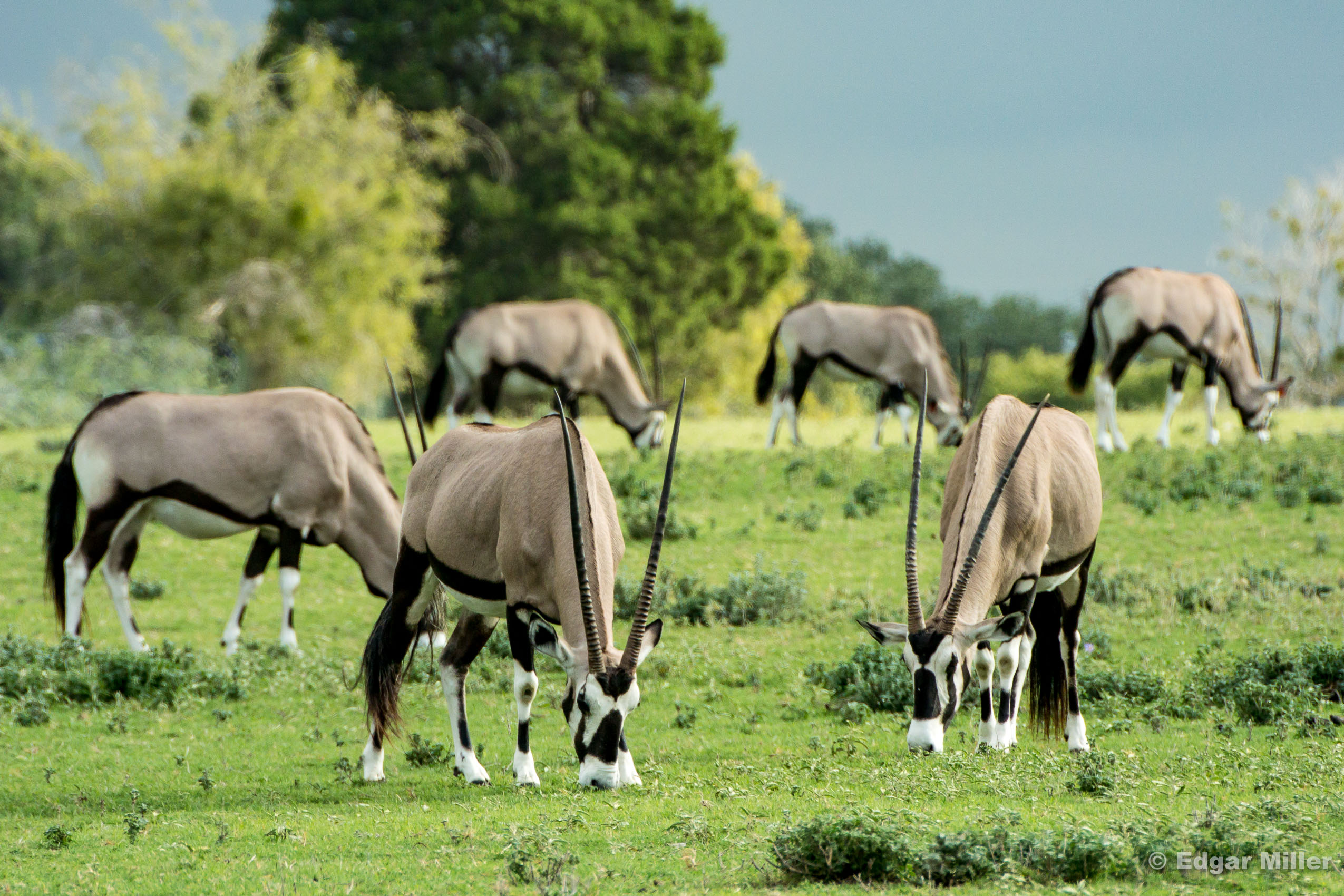 Gemsbok Grazing, Texas