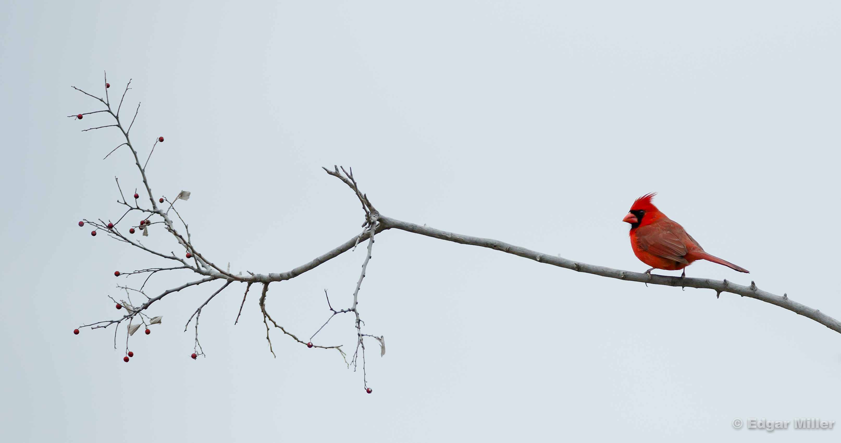 Red Bird, Red Berries
