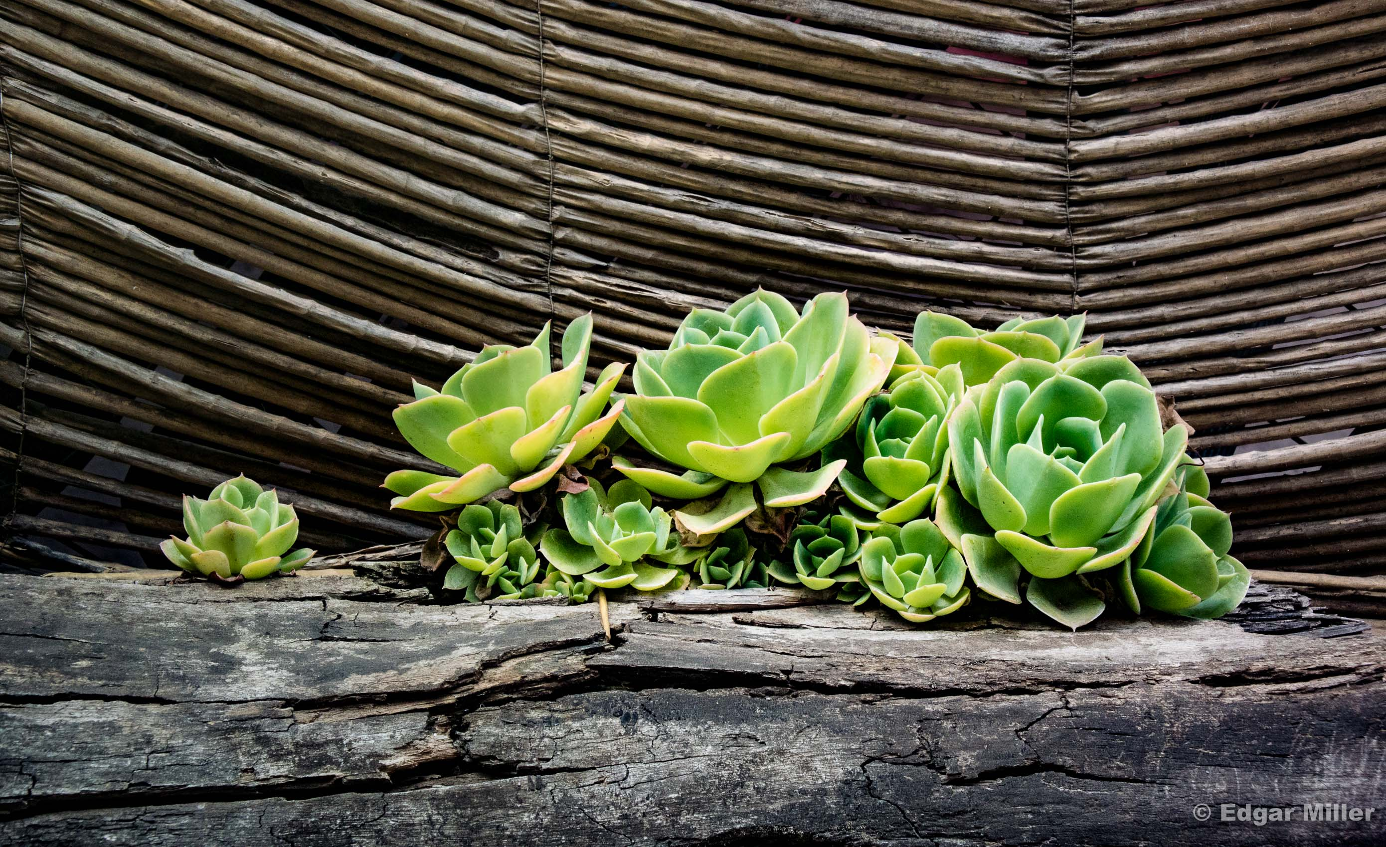 Succulents in Mexico