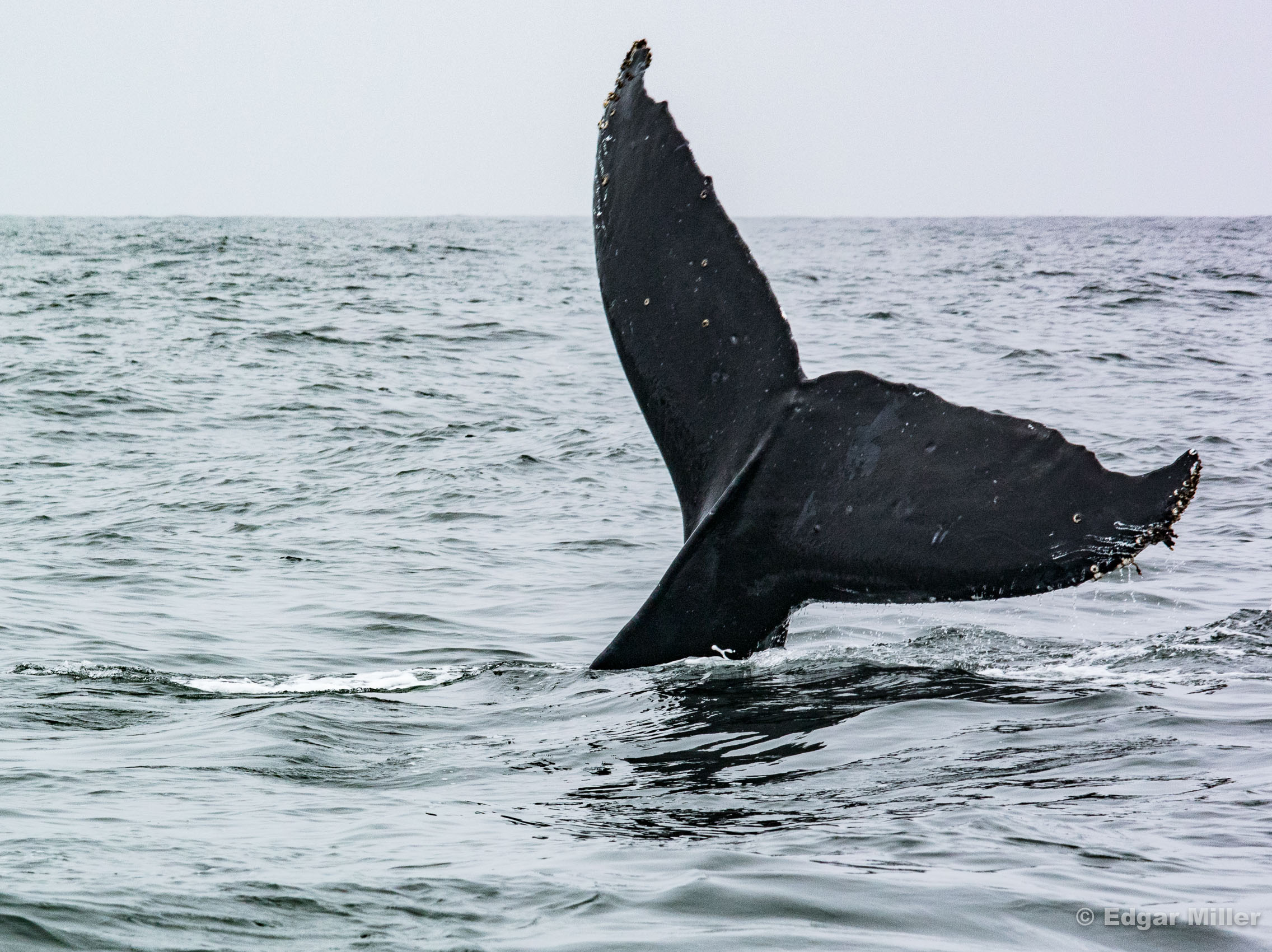 Humpback Whale, Monterey Bay, California