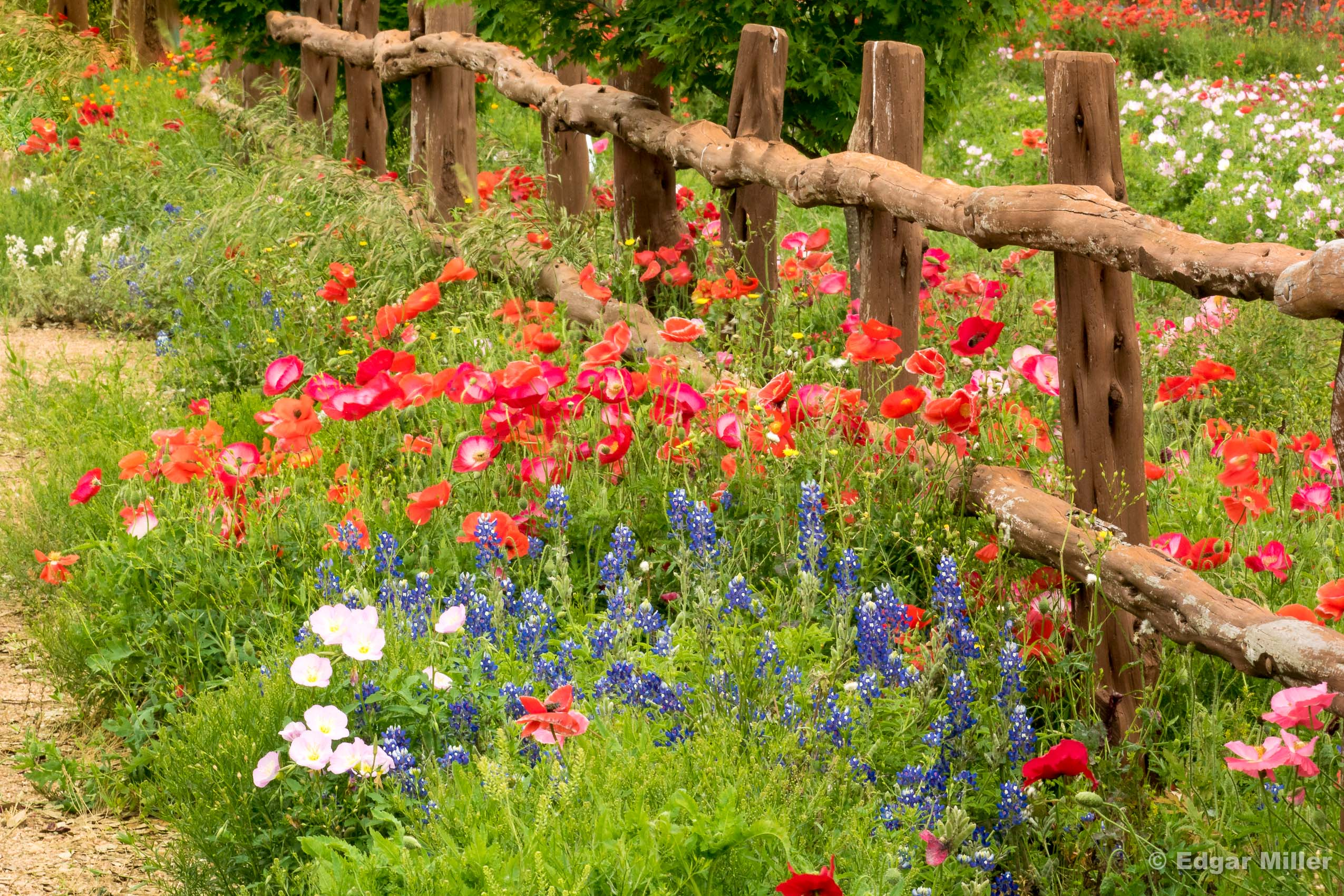 Wildflowers, Fredericksburg, Texas