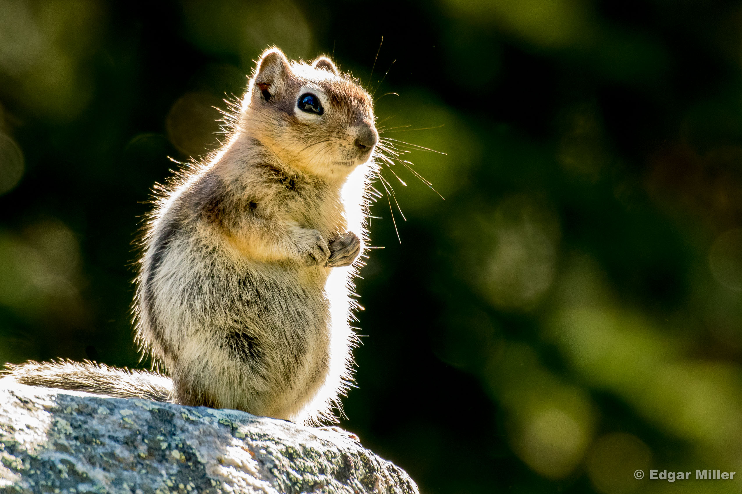 Golden-mantled Ground Squirrel, Banff, Canada