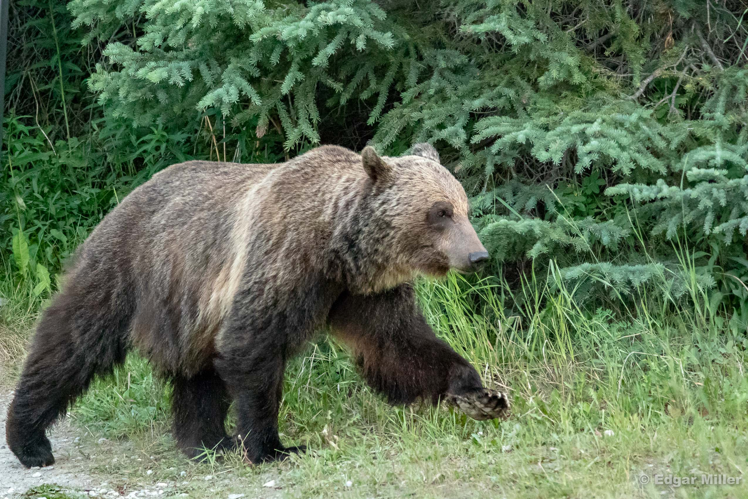 Grizzly Bear 126, Kootenay National Park, Canada