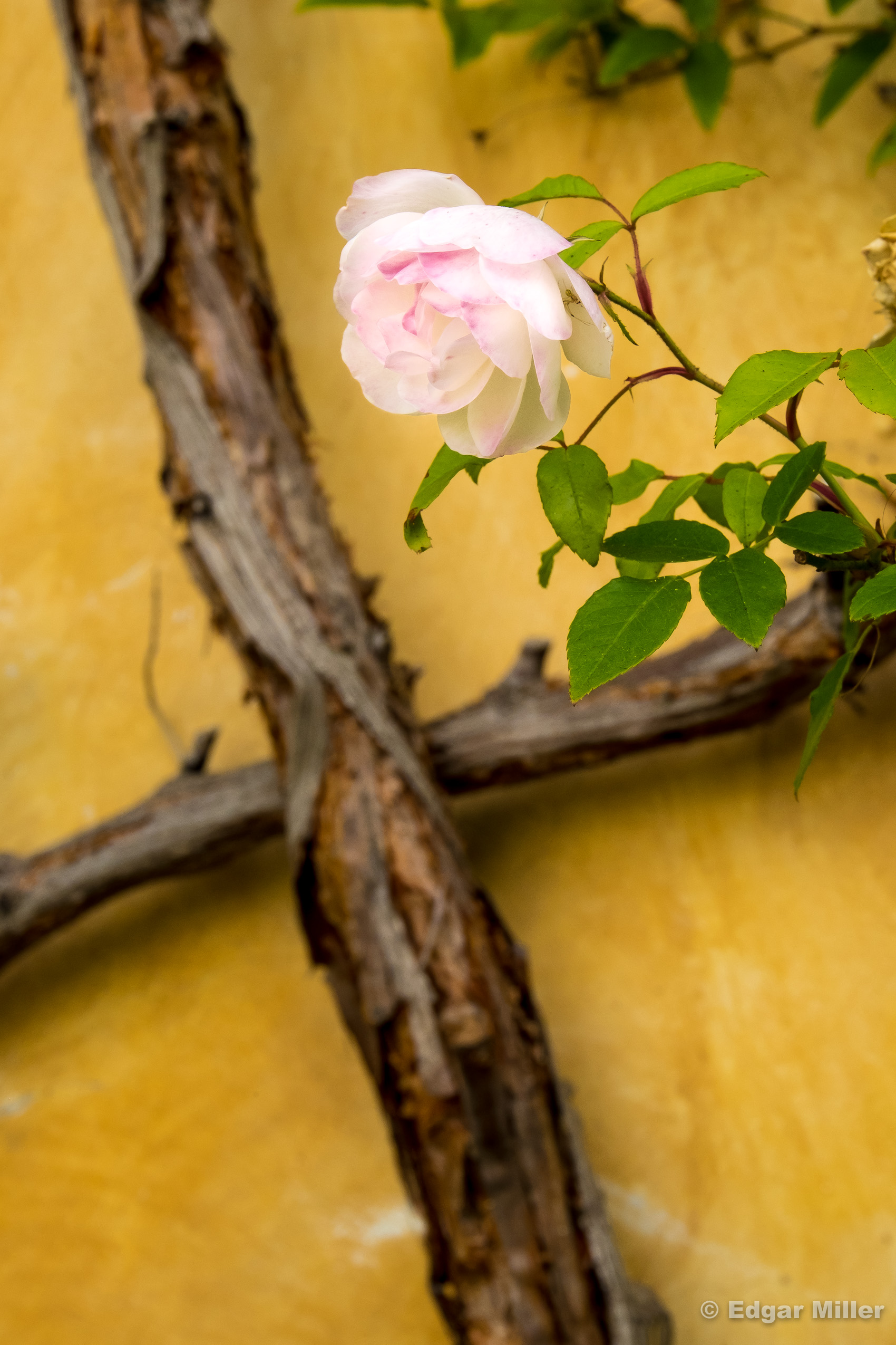 Rose & Vine, Carmel Mission, California