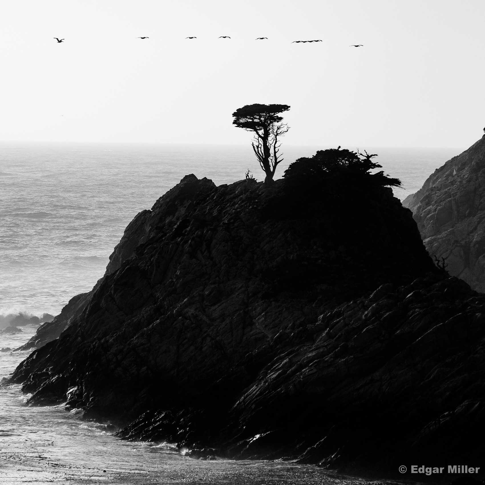 Cypress and Pelicans, Point Lobos, California