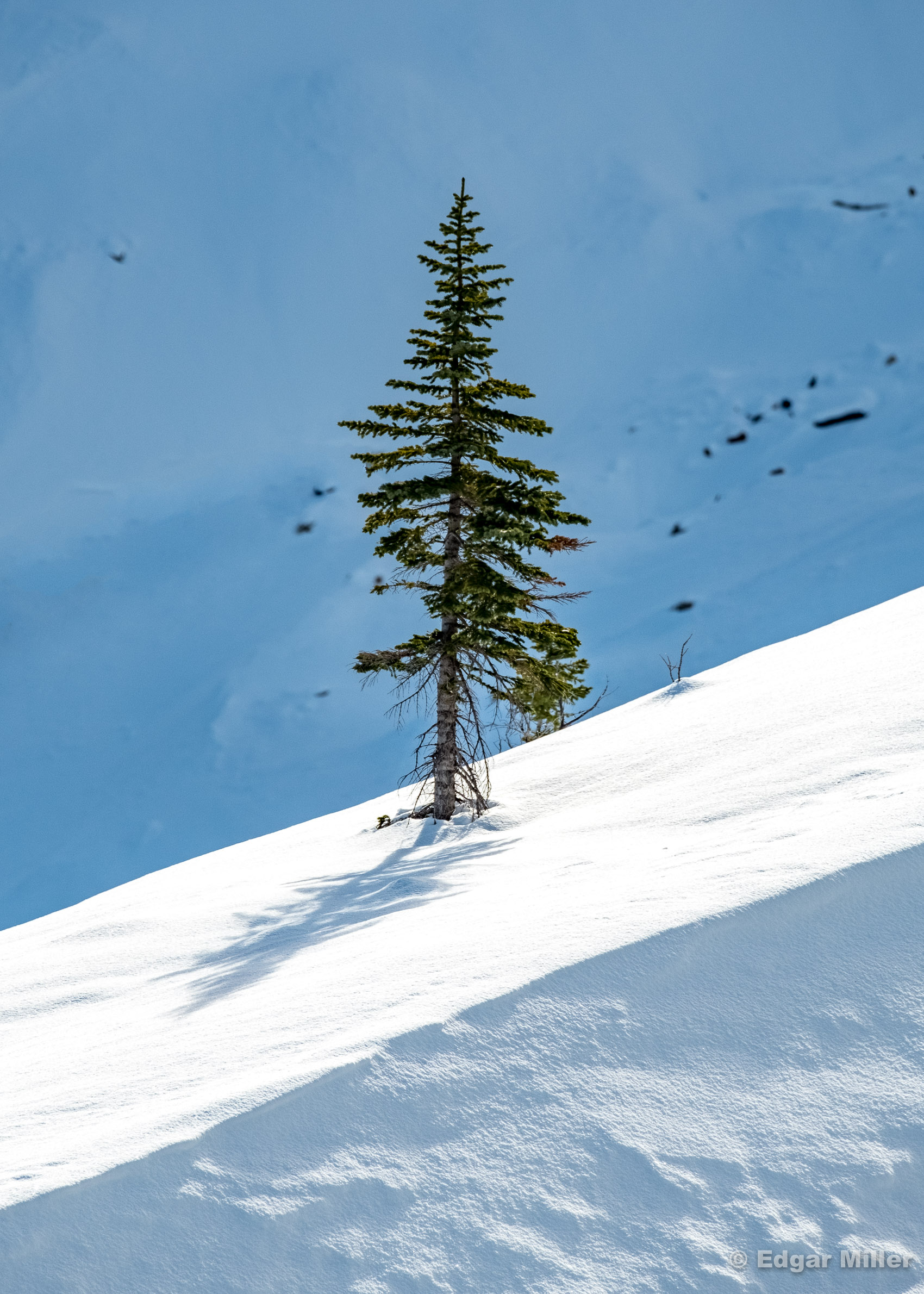 Snow Ridge Fir