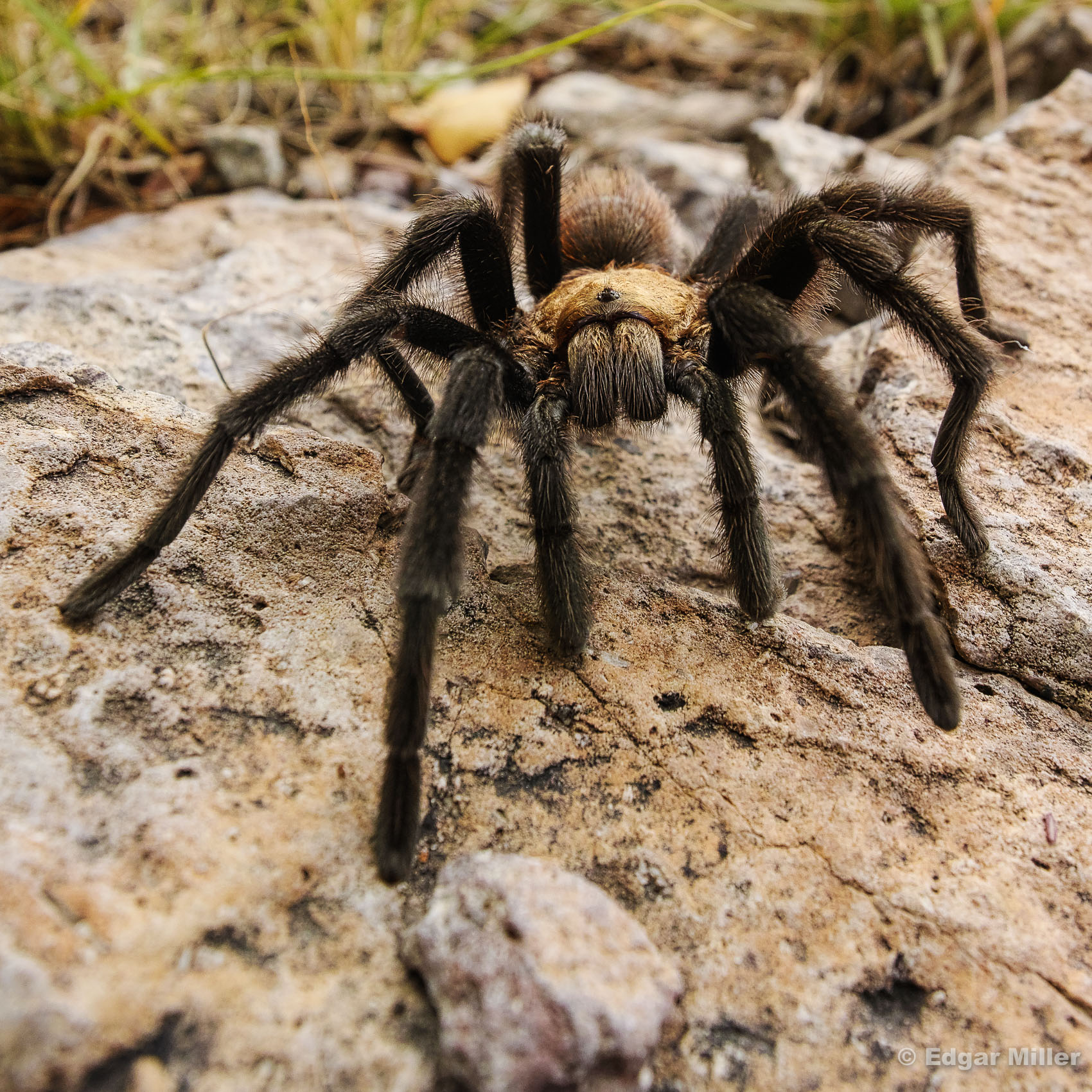 West Texas Brown Tarantula